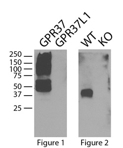 GPR37 cells v brain - 250